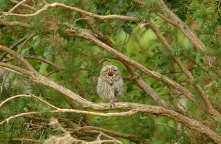 Little Owl Bored