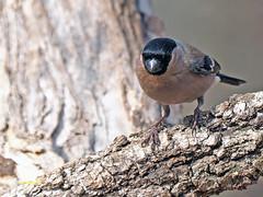 Camachuelo común (Pyrrhula pyrrhula) (3) (eb3alfmiguel) Tags: aves pájaros fringillidae passeriformes camachuelo común pyrrhula