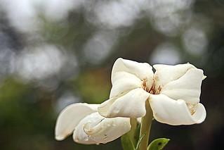 Même flétrie, la fleur de Tiare Tahiti reste très parfumée