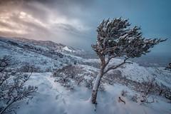 Wild and Beautiful (moerden68) Tags: utah snowstorm mountwire saltlakecity tree snow clouds mountains sonyilc7m2 sonya7ii zeiss zeissdistagonzf215mmf28 livingroomtrail wasatchrange wasatchmountains rocks nature winter sky