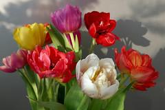567 Tulpenvielfalt 2 (Wuwus Bilder) Tags: tulpen schatten