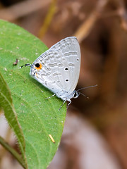 Forget-me-not (chaz jackson) Tags: catochrysopsstrabo forgetmenot lycaenidae polyommatinae butterfly insect vietnam macro blue