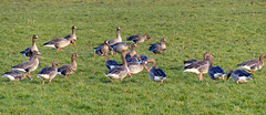 let's have a party!! (berber hoving) Tags: geese