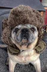 Bring on the Beast! (ashperkins (dont follow me i`m lost)) Tags: beastfromtheeast beast tyson pug smiley happychappy
