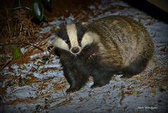 Badger in the Snow - Buckinghamshire (Alan Woodgate) Tags: badger uk meles snow