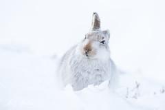 Mountain Hare (zandy1978) Tags: scottish mountain hare wild wildlife nature mammal scotland highlands cairngorms snow winter coat