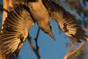 Diving Kookaburra (david.john.lee) Tags: canberra birds australia sunset