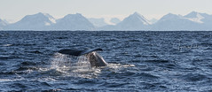 A Day with Sperm Whales (Jyrki Liikanen) Tags: whale spermwhale andenes lofoten andoya norway sea sealife naturephotography nature seanature tail whaletail senja lofotenislands sun sunnyday seascape sealovers