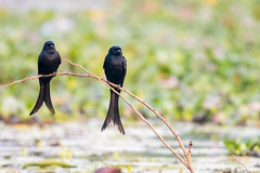 I can't believe he shows up here in jeans! (JohnKuriyan) Tags: kumarakom kerala india in bird sanctuary black drongo