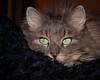 Feline contemplation (FocusPocus Photography) Tags: fynn fynnegan katze kater cat chat gato tier animal haustier pet decke blanket