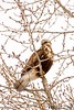 Perched Above (Henry T. Cadwalader) Tags: hawk birds nature jacksonhole jacksonwy wildlife wildlifephotography raptor