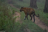 Morning Walk (Deepu Cyriac) Tags: karnataka indianforest travel nature nilgiribiosphere nagarhole nagarholenp wildlife westernghats royalbengaltiger bengaltiger tiger bigcat stripedcat kabini