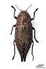 Dicerca furcata (Thunberg, 1787) (Hyunkyu Jang) Tags: coleoptera 딱정벌레목 buprestidae 비단벌레과 dicerca furcata 자작나무비단벌레 thunberg 1787