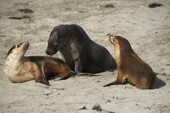 Kangaroo Island Seals (Gordon Chirgwin) Tags: seals kangaroo island mammal animal