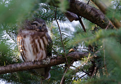 4 Inch Owl (TW Olympia) Tags: sawwhetowl nisquallynationalwildliferefuge