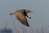 Yellow-crowned Night-Heron (Kevin James54) Tags: nightheron nikond850 nyctanassaviolacea tamron150600mm wilmington yellowcrownednightheron animals avian bird fortfisher kevingianniniphotocom