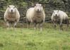 Don't mess with us!.jpg (Stephen B Jessop) Tags: 2018 mean stonewall grumpy stare olympus hard sheep em5mk2