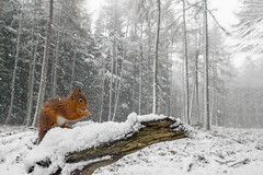 Red Squirrel (crittersnapper) Tags: redsquirrel redsquirrelinwinter redsquirrelinsnow scottishwildlife scottishnature perthshirewildlife perthshirenature