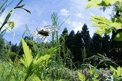 Parnassius citrinarius (kenta_sawada6469) Tags: insect insects nature macro japan spring bug bugs wildlife butterfly butterflies parnassius lepidoptera