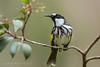 White-cheeked Honeyeater (Phylidonyris niger) (Mickspixx) Tags: whitecheekedhoneyeater phylidonyrisniger