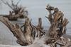 Shoreline Stumps (peterkelly) Tags: digital canon 6d northamerica wheatley ontario canada lakeerie water shoreline shore wood driftwood stump tree rootes