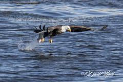 Intensity (david.horst.7) Tags: bird eagle raptor fish river water nature wildlife