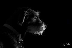 Vigilante nocturno (davidmendez82) Tags: animal mascota clavebaja perro bn blancoynegro tristeza retrato expresion pensativo monocromo soledad