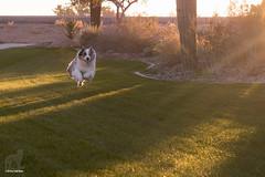 When dogs zoom at dawn (Jasper's Human) Tags: aussie australianshepherd dog zoomies run fly happy