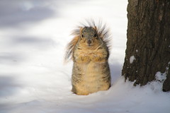 Squirrels in Ann Arbor at the University of Michigan (February 5th, 2018) (cseeman) Tags: gobluesquirrels squirrels annarbor michigan animal campus universityofmichigan umsquirrels02052018 winter eating peanut februaryumsquirrel snow snowy sunny