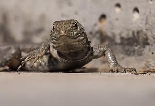 Atlantic-lizard_3324