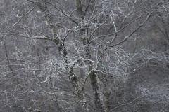 Coating (jellyfire) Tags: distagont3518 frost landscape landscapephotography sonnartfe55mmf18za sony sonya7r sonyfe70200mmf40goss winter ze zeissdistagont18mmf35ze blue clue cold icing leeacaster snowdonia tree twigs wales wwwleeacastercom zeiss
