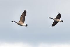 Sevenoaks flying Canadas