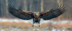 White-tailed Eagle (Mr F1) Tags: wild whitetailedeagle wte poland hide bop birdsofprey wings landing barndoor snow ice cold wingsspread feathers adult talons yellow dof shallow detail europe