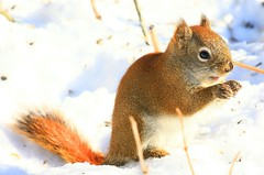red squirrel at Sax-Zim Bog MN 854A0972 (lreis_naturalist) Tags: red squirrel saxzim bog minnesota larry reis