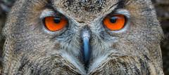 Eauropean Eagle Owl