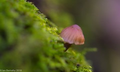 Squidbeak Macro (Ian Barnaby) Tags: macro mushrooms fungus closeup nature squidbeak crop