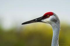 Sandi (ac4photos.) Tags: sandhill crane sandhillcrane bird nature wildlife animal florida naturephotography wildlifephotography birdphotography animalphotography nikon d500 tamron150600mm ac ac4photos