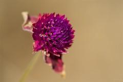 センニチコウ Withered globe amaranth (takapata) Tags: sony sel90m28g ilce7m2 macro nature flower