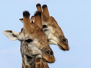 Kameelperd / Giraffe