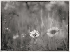 Wildflowers in Sepia (maureen.elliott) Tags: 7dwf crazytuesdaytheme flowersinsepia sepia wildflowers growing grasses summer monochrome meadow canadianrockies hiking jaspernationalpark