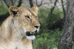 Portrait of a lioness (tmeallen) Tags: lioness young pantheraleo rainyseason greatmigration relaxed closeup portrait lowerteethshowing trees forest greenery lakendutu serengeti tanzania eastafrica