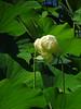 Sacred Lotus (BlueRidgeKitties) Tags: canonpowershotsx40hs stlouis missouri missouribotanicalgarden nelumbonucifera sacredlotus