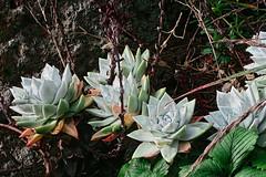 J20180111-0014—Dudleya farinosa—RPBG—DxO (John Rusk) Tags: dxofujivelvia50preset ebparksok taxonomy:kingdom=plantae plantae taxonomy:subkingdom=tracheophyta tracheophyta taxonomy:phylum=magnoliophyta magnoliophyta taxonomy:class=magnoliopsida magnoliopsida taxonomy:order=saxifragales saxifragales taxonomy:family=crassulaceae crassulaceae taxonomy:genus=dudleya dudleya taxonomy:species=farinosa taxonomy:binomial=dudleyafarinosa dudleyafarinosa powderyliveforever blufflettuce taxonomy:common=powderyliveforever taxonomy:common=blufflettuce