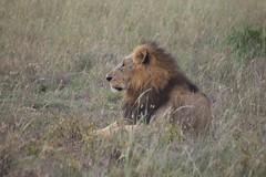 Somber Lion (liam.ragan) Tags: animal wildlife nature creature alive life lion mane savanna nairobi nairobinationalpark cat feline endangered predator