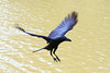 flying crow floating on air (tyke8907) Tags: crow bird black dark fly flying landing wing plumage feather body fullbody leg animals wild wildlife wilderness nature natural float floating taking bill beak air midair