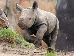 black rhino Blijdorp BB2A2434 (j.a.kok) Tags: rhino rhinoceros zwarteneushoorn blackrhinoceros neushoorn puntlipneushoorn africa afrika herbivore animal mammal zoogdier dier babyneushoorn babyrhino blijdorp