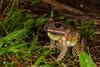 Great Barred Frog (R. Francis) Tags: mixophyesfasciolatus chaelundi chaelundinationalpark guyfawkesgorge guyfawkesgorgenationalpark nsw nswnorthcoast newsouthwales midnorthcoast