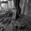 sinuous (daniel_james) Tags: 2018 canon6d canon1635mm cambodia kambodscha angkor bengmealea ruins forest blackandwhite square roots destruction temple tree southeastasia khmer