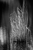 Résiste! (Grozibou38) Tags: herbe roseaux nikon nikond90 noiretblanc grass etang