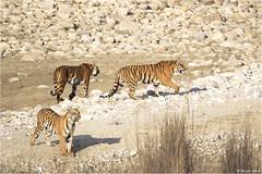 Powerful Family (Shayon Ghosh) Tags: canon canon7dmarkii ef100400mmf4556lisiiusm pantheratigris bengaltiger tiger tigercubs tigerreserve jimcorbettnationalpark dhikala tigressandcubs bigcats wildlife jungle indianwildlife indiantiger uttarakhand india